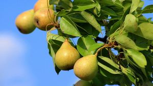 Πληρώθηκε η ενίσχυση για τα αχλάδια «Κρυστάλλια» ύψους 1,2 εκατ. ευρώ
