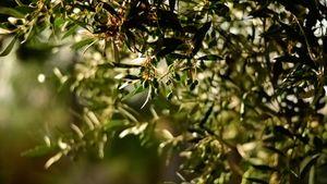Ελιές Καλαμών: Οι πιο υγιεινές στον κόσμο