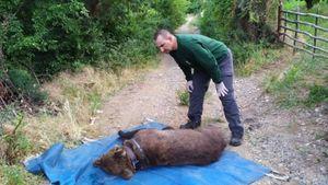 """Εγκλωβισμένη σε παγίδα βρέθηκε αρκούδα που απελευθερώθηκε από τον """"Αρκτούρο"""""""