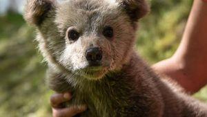 """Ξανά στη φύση πέντε ορφανά αρκουδάκια που είχε υιοθετήσει ο """"Αρκτούρος"""""""